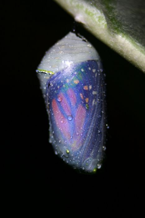 chrysalis turns black before butterfly emerges and you can see the butterfly inside.