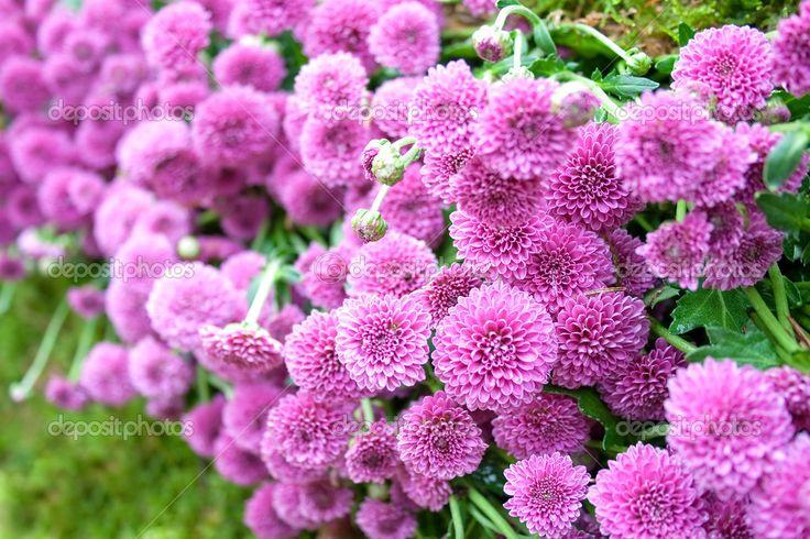 Dália roxa — Fotografias de Stock © feferoni #2619732