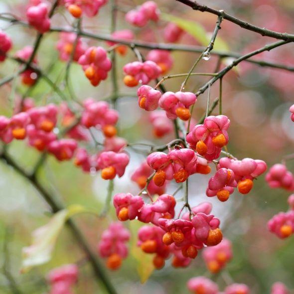 Fusain d'europe 'Red cascade' - Plantes et Jardins