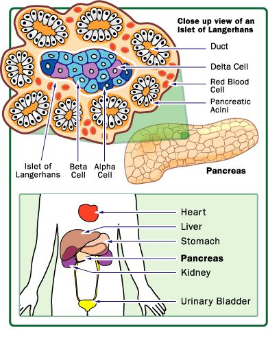 The pancreas has many islets that contain insulin-producing beta cells and glucagon-producing alpha cells.