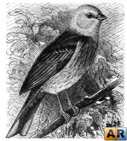 Старинные гравюры с изображением птиц