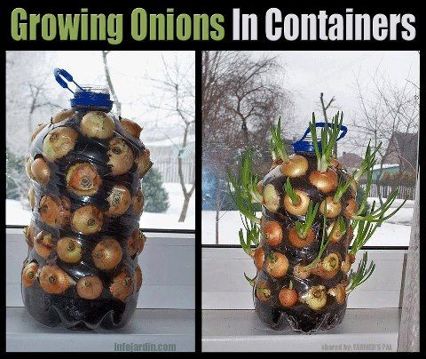 35 best grow assess onion images on pinterest growing for Indoor gardening onions