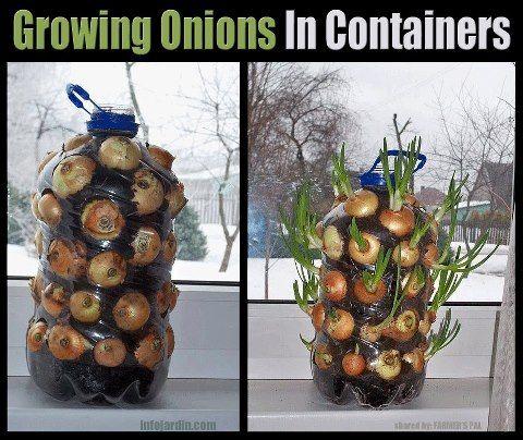 images  grow assess onion  pinterest