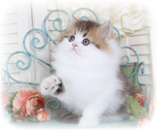 Teacup Persian Kittens on Pinterest | Teacup persian cats, Fluffy ... Fluffy Teacup Kittens