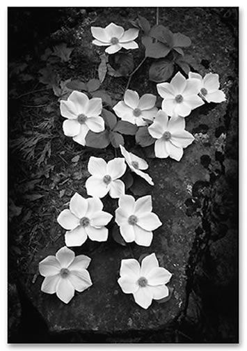 White flowers photographed by Ansel Adams. http://hopanseladams15.files.wordpress.com/2011/05/dogwood-blossoms-19591.jpg