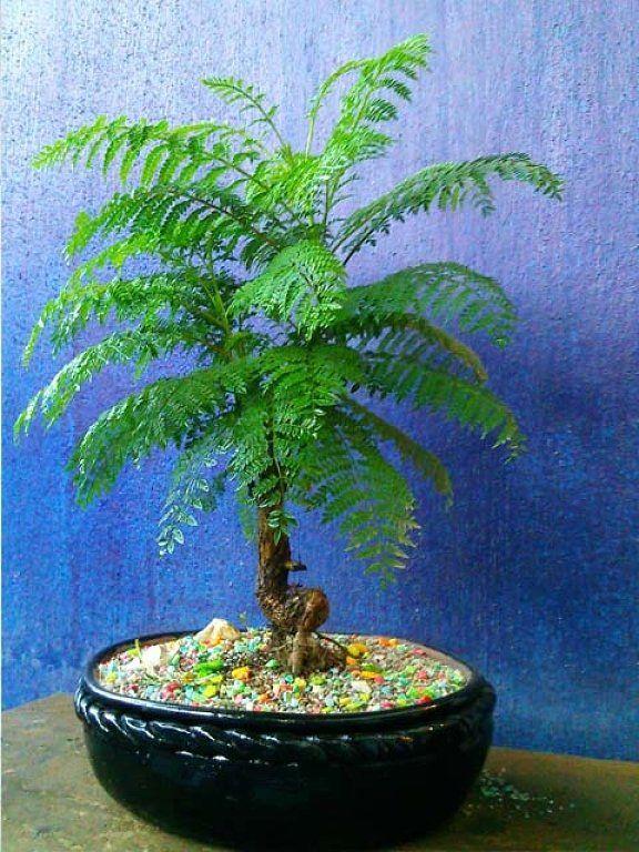 best 25 jacaranda and other bonsai images on pinterest. Black Bedroom Furniture Sets. Home Design Ideas