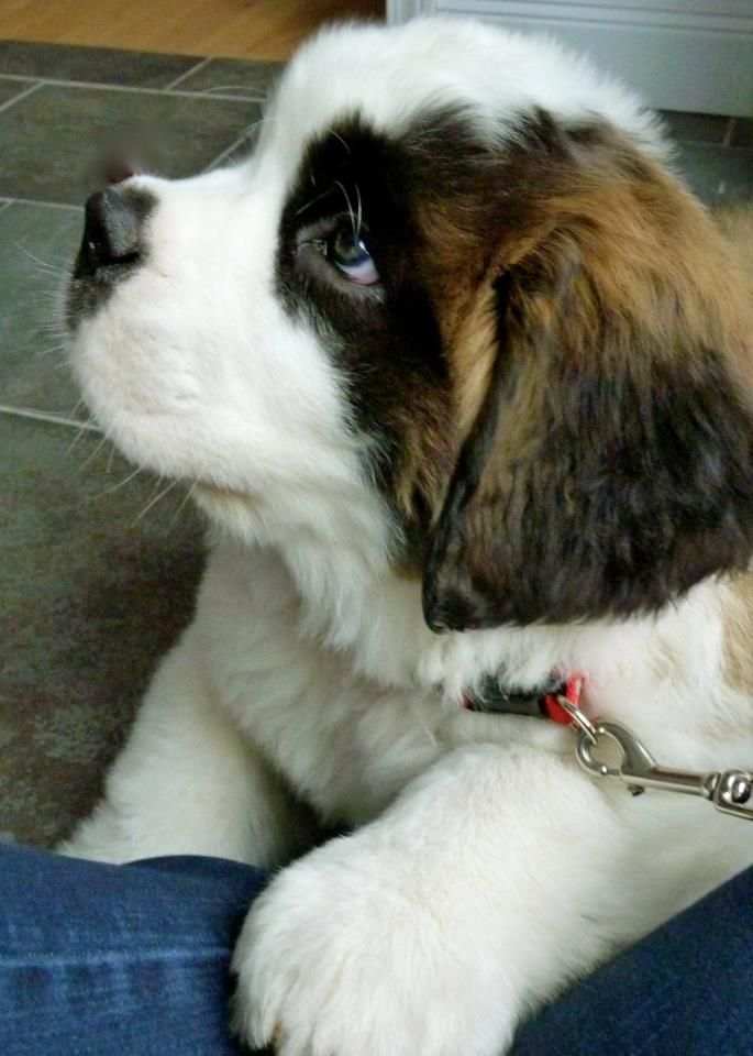 St. Bernard. Bigs dogs<3  I WILL have him one day soon.