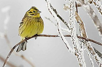 BirdLife Suomi - Pihabongaus - Keltasirkku