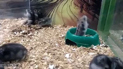 GIF Hamster doing backflips from a bowl - this is one of the most awesome things I've ever seen! Despite owning a few, I had no idea hamsters were so acrobatic. Maybe this little guy is just uniquely talented.
