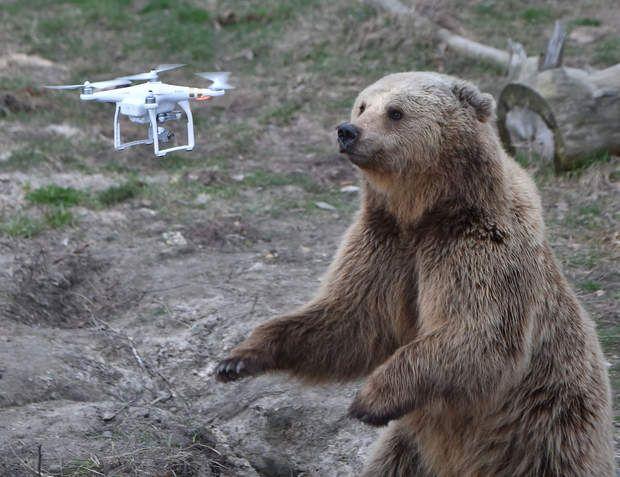 Jytomyr (Ukraine) - Le petit aéronef autonome appartient à un visiteur. Selon Science et avenir, les animaux sauvages souffrent aussi de la pollution sonore, et les ours bruns ne semblent pas vraiment apprécier le bruit
