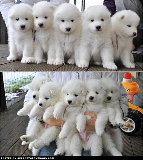 Samoyed Puppies - They are cute for sure!
