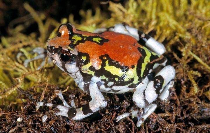 flora del mundo - Más de 200 nuevas especies de anfibios encontradas en Madagascar