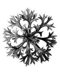 blossfeldt - Google Search