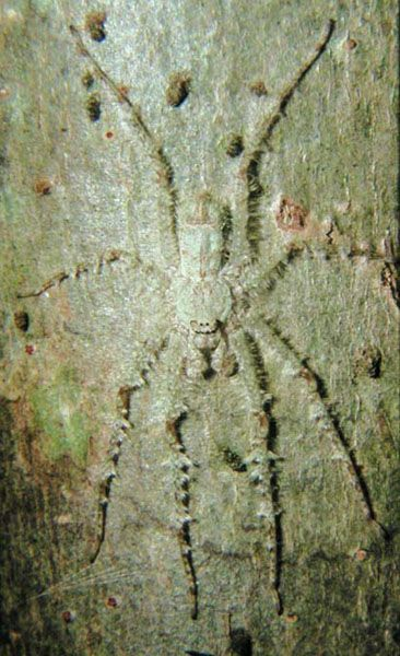 Lichen huntsman Sparassidae (giant crab spiders)