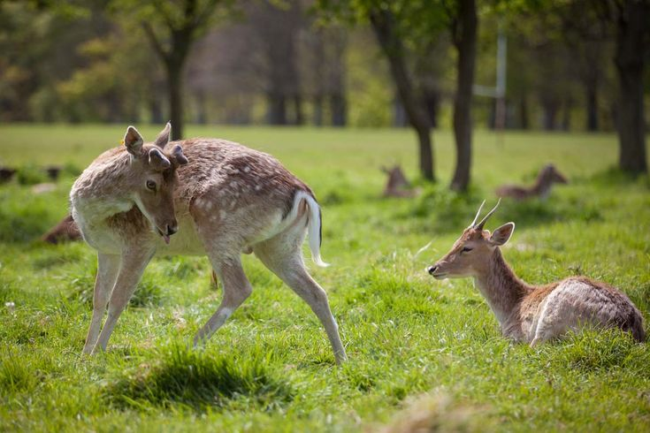 Deer in Phoenix Park in Dublin. Photo: John Einar Sandvand