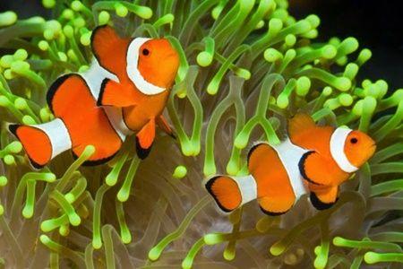 MancingMania.XYZ – Aneka ragam jenis ikan hias air laut paling populer yang mudah di perihara. Selamat siang para pecinta ikan hias tanah air dimanapun anda berada, pada kesempatan ini kami akan memberikan ulasan lengkap beberapa jenis ikan hias yang hidup di air asin atau air laut khusus untuk anda semua. Memelihara aneka ragam jenis ikan entah itu ikan hias air tawar ataupun juga air asin melalui media aquarium dirumah