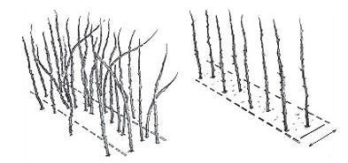 Обрезка взрослого кустарника малины- 14-16 побегов на метр