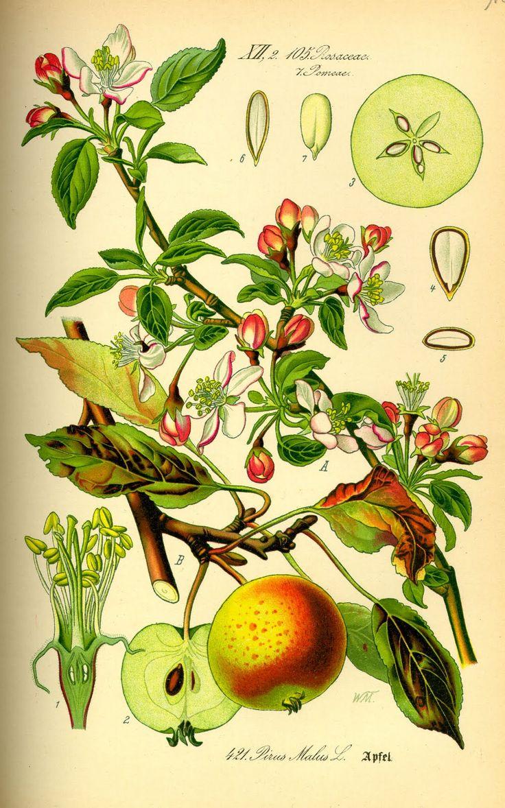 Vintage Ephemera: Botanical plate, Apple - 1885