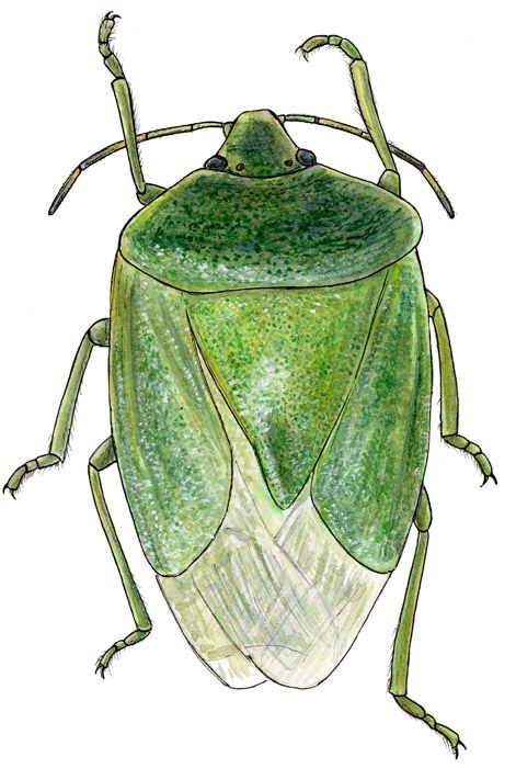 Joe MacGown, Green Stinkbug. Watercolor and ink on paper.