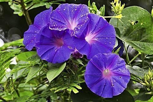 Красивые однолетние растения украсят любой сад, беседку или перголу. Названия однолетних растений представлены на фото. Однолетние вьющиеся растения представленные в статье сравнительно неприхотливы и красивы.