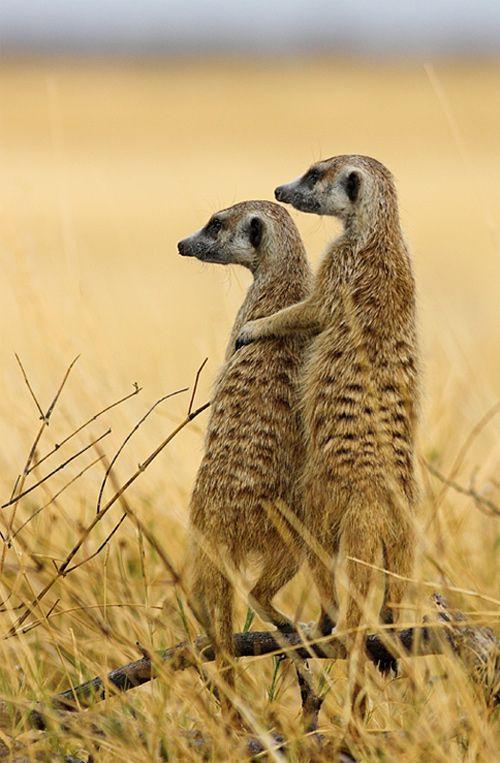 You've Got a Friend - Meerkats on the lookout