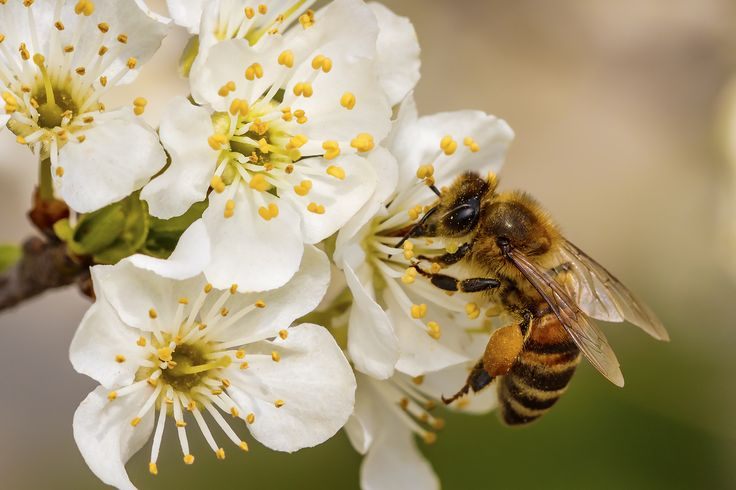 Love Food? Love Bees! Pollination and Food - Years 5 & 6! In this lesson, students will be introduced to the connection between bees, flowering plants and food through a range of activities. #coolaustralia #education #teaching #teach #classroom #teacher #science #sustainability #english #economics #business #maths