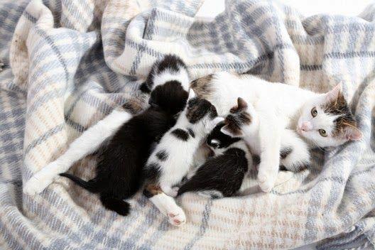 Pomyśl, zanim zdecydujesz, by twoja kotka miała kocięta!