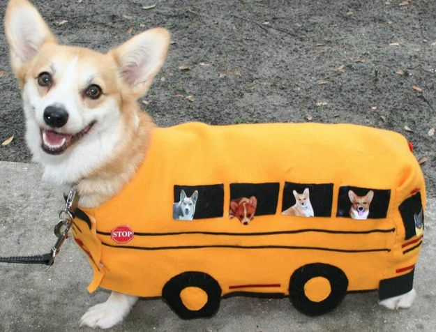 Corgis can also drive buses. | 71 Reasons We Need To SAVE CORGIS FROM EXTINCTION  p/i