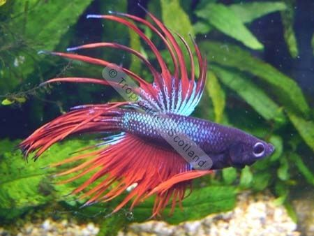 43 best images about betta fish on pinterest copper for Tropical rainbow fish