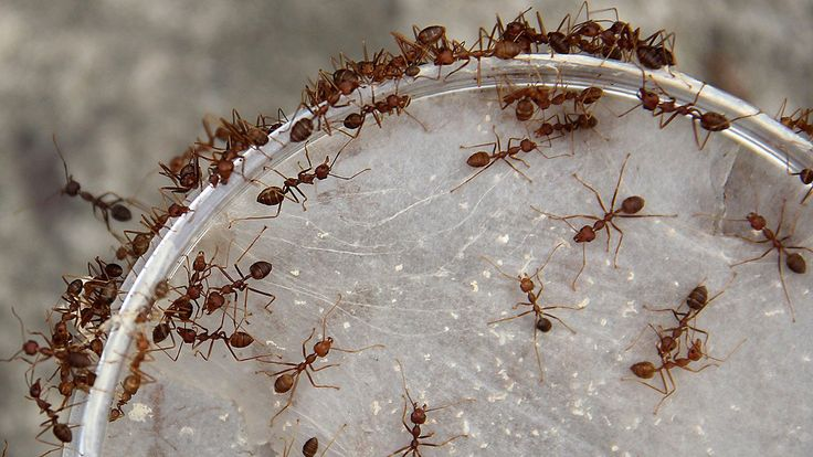 Gizmodo: Individual ants better their colonies' future by dreaming big https://t.co/6vb4KRx2Jz https://t.co/IhXHVzV83A