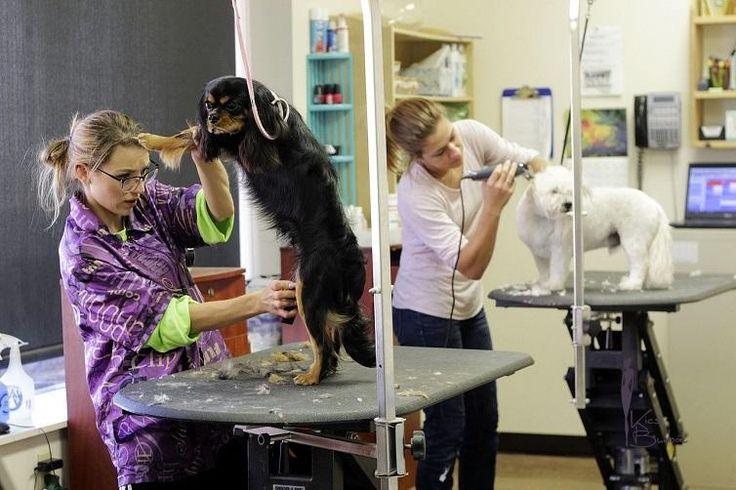 Belgiumban rendezik a világ egyik legmagasabb színvonalú versenyét kutyakozmetikusok számára.