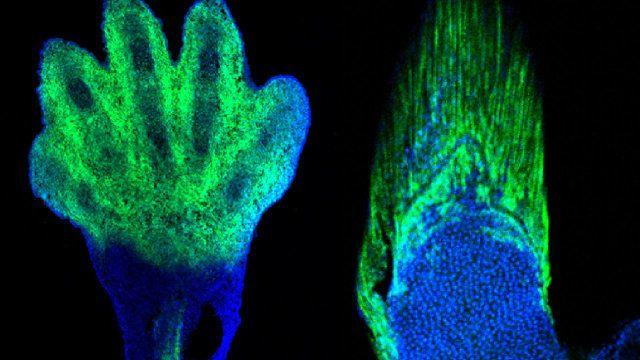 """Un articolo pubblicato sulla rivista """"Nature"""" descrive una ricerca sull'evoluzione dalle pinne alle mani. Un team di scienziati coordinati dal paleontologo e biologo dello sviluppo Neil Shubin dell'Università di Chicago, nell'Illinois, ha utilizzato la tecnica di ingegneria genetica CRISPR-Cas9 per dimostrare che le stesse cellule che generano i raggi delle pinne dei pesci hanno un ruolo centrale nella formazione delle dita dei tetrapodi. Leggi i dettagli nell'articolo!"""