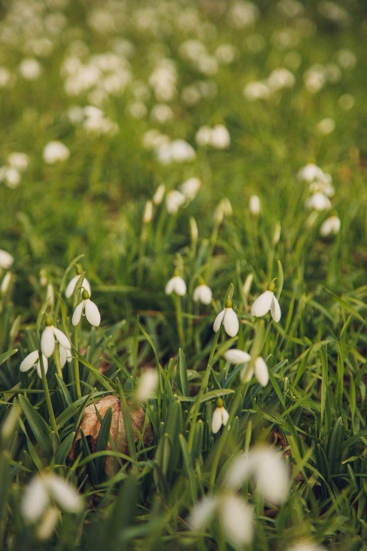 Snowdrops field