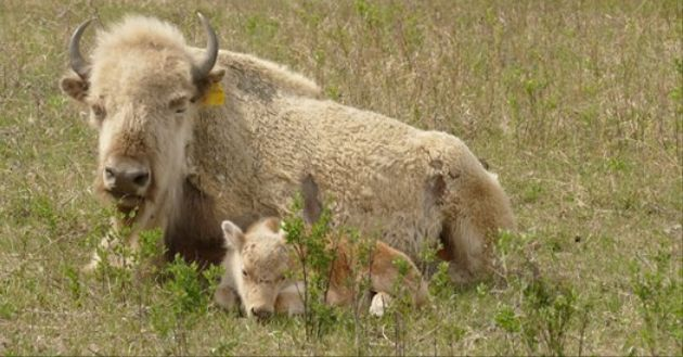A Rare White Bison Was Born Into A Herd Belonging To The Sioux Valley Dakota Nation