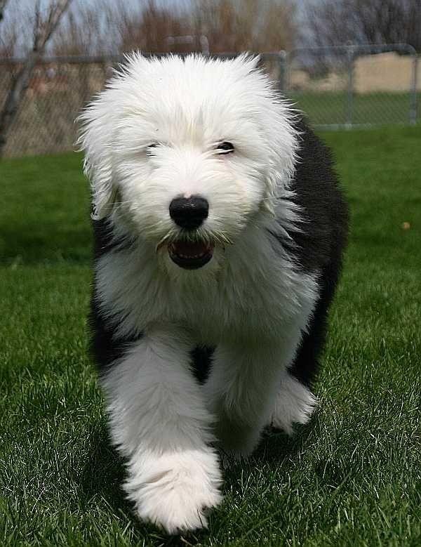 Old English Sheepdog Puppy
