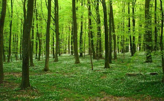 Anemonebund, skov og forår