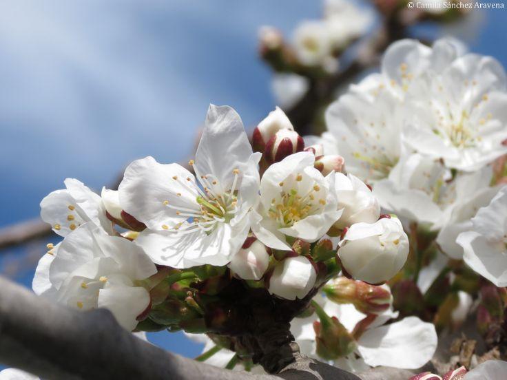 Flor de cerezo blanca - White Sakura