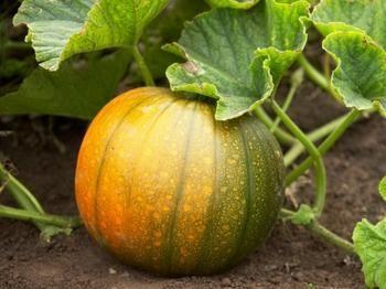 Как вырастить хороший урожай тыквы?