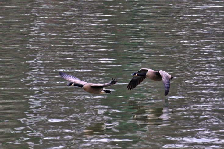 Canada Geese in flight over the surface of the Fraser River. Click image to enlarge.