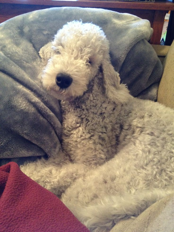"""This is Cooper. He's a bedlington terrier and the """"assistant"""" at www.etsy.com/shop/foundblessings"""