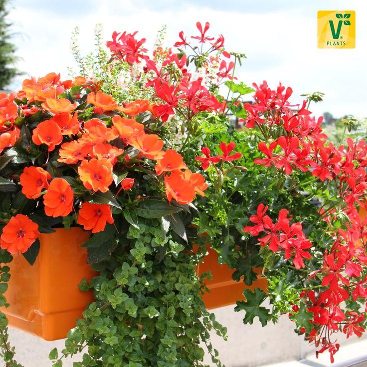 Mehr Inspirationen gibt es auf www.plant-happy.de >>Efeugeranie 'Grandeur Butterfly Red', Engelsflügel 'Angelito White',  Impatiens 'SunPatiens Orange', Hängeminze 'Indian Mint'
