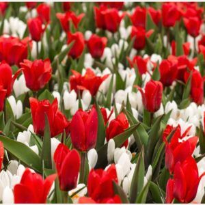 Red Tulips White Crocus Flowers Wallpaper | red tulips white crocus flowers wallpaper 1080p, red tulips white crocus flowers wallpaper desktop, red tulips white crocus flowers wallpaper hd, red tulips white crocus flowers wallpaper iphone