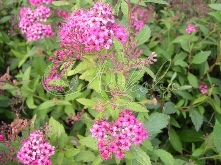 Спирея японская Антони Ватерер  Spiraea japonica ` Anthony Watrrer` Красиво цветущий, невысокий, шаровидный кустарник, высотой  50-80 см в диаметре. Растет довольно медленно. Листья мелкие, ланцетовидной формы, светло-зеленого цвета, при распускании слегка розоватые. Цветки ярко-розовые, мелкие, собраны в плоские соцветия 10-15 см. Цветет очень продолжительный период: с июня до поздней осени. Зимостойкое растение, но в суровые зимы может подмерзат