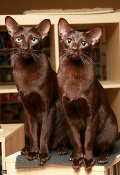 "(Havana Brown) * * CAT ON RIGHT: "" De human weez lives wif loves…"