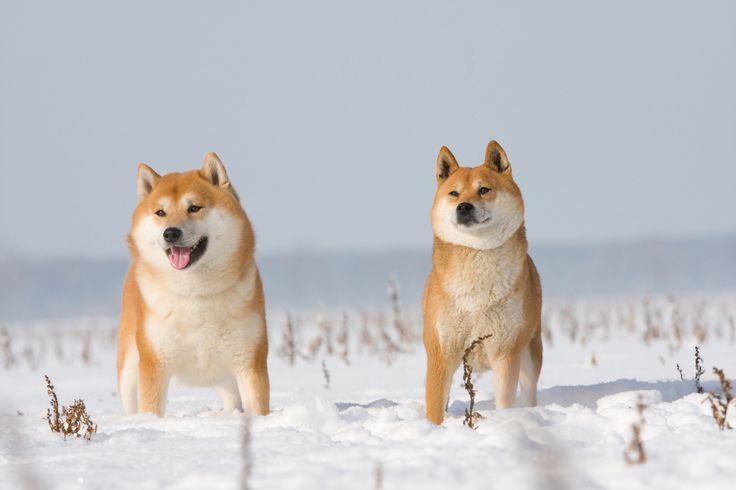 北海道犬_Native Hokkaido Dogs
