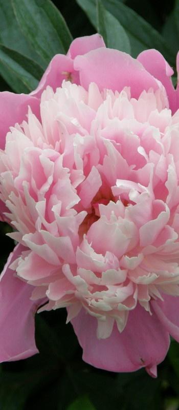 Peony - Beautiful Flowers http://hmkh.com #flowers