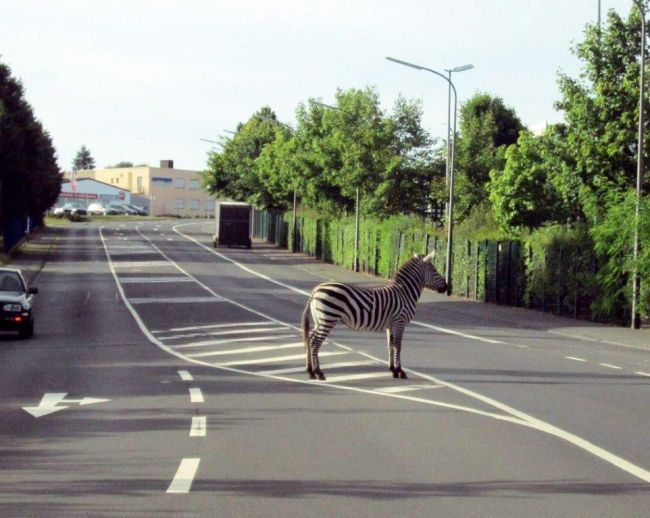 Police alert over zebra crossing as circus animal disappears in middle of the road. Can't see it meself.