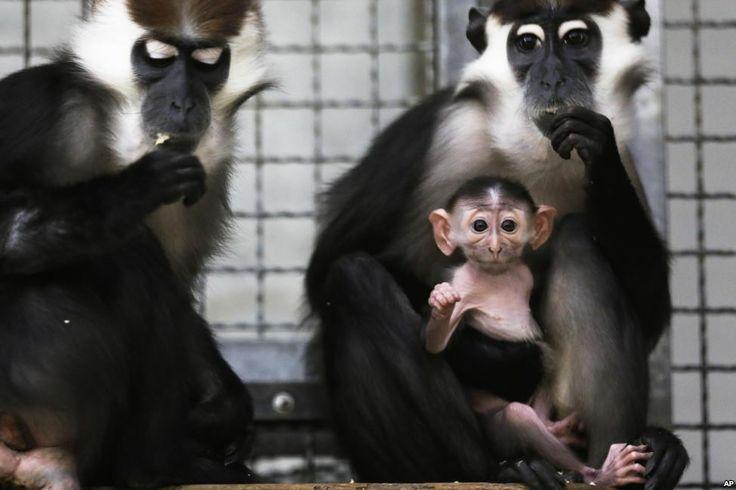 Seekor anak monyet Cherry-crowned Mangabey duduk di pangkuan ibunya dan di samping ayahnya di dalam rumah monyet di kebun binatang Tierpark di Berlin, Jerman.