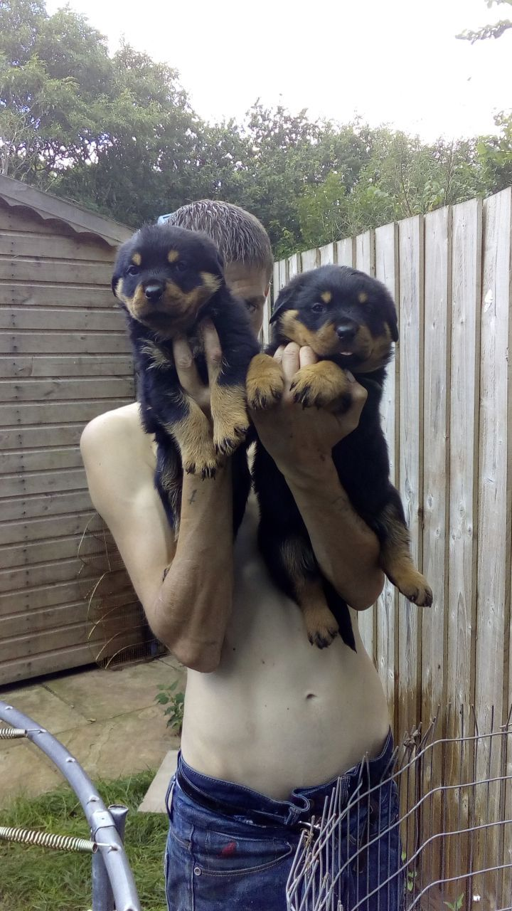 Rottweiler Puppies for Sale! CLICK THE LINK to connect directly with the breeder/seller. #rottweiler #rottweilerpuppy #rottie #rottiepuppy
