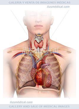 Ilustración anatomía y fisiología del tórax. Está entre la base del cuello y el diafragma, Contiene a los ....